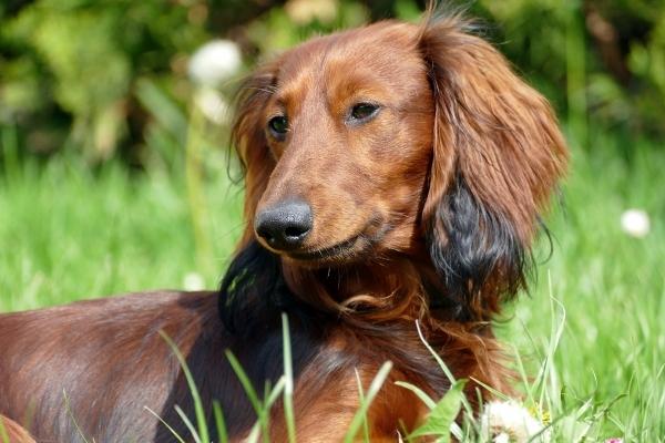 dachshund-2301777_1920