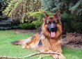 german-shepherd-2254252_1920