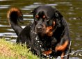 rottweiler-3477499_1920