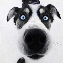 Dog with blue eyes