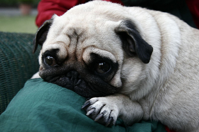 Pugg on a couch