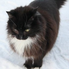 Norwegian Forest Cat Mix