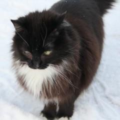 Norwegian Forest Cat Mix