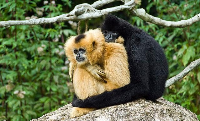 Gibbons couple