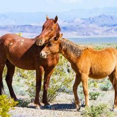 Horses valentines day