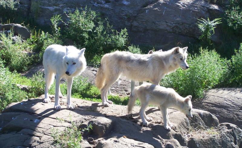 Wolves family
