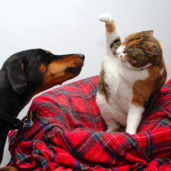cat fight dog